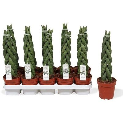sansevieria twister florastore. Black Bedroom Furniture Sets. Home Design Ideas