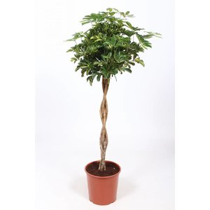 Schefflera Golden Capella braided trunk