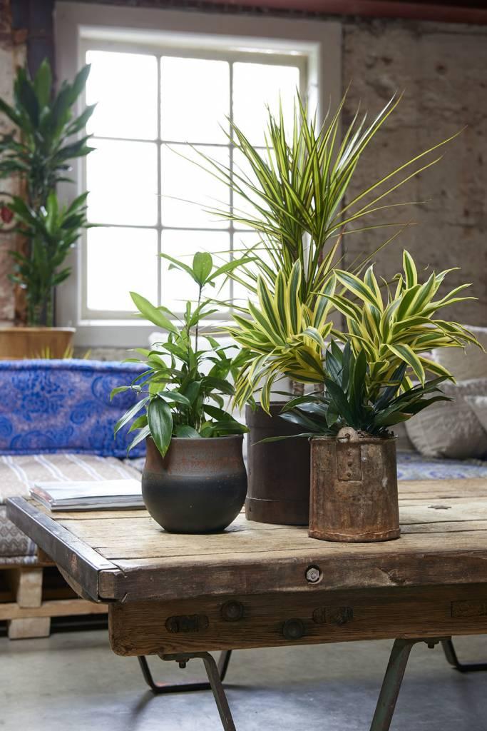 Dracaena Houseplant of the month December