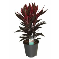 Cordyline Tango chienne 3 boutures