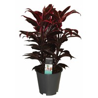 Cordyline Mambo 3 boutures de touffes