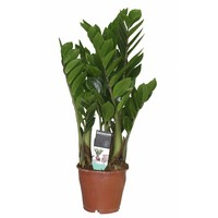 Zamioculcas with 4 springs