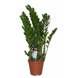 Zamioculcas with 6 springs