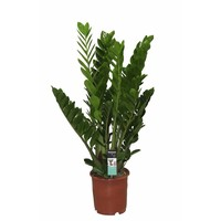 Zamioculcas with 8 springs