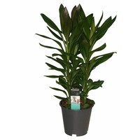 Cordyline Glauca chienne 3 boutures