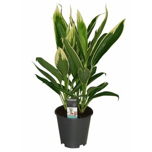 Cordyline nouvelles boutures Conga 3