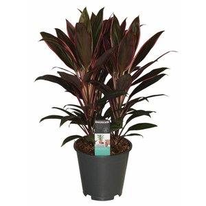 Cordyline Rumba chienne 3 boutures