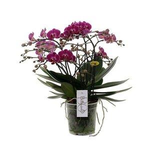 Phalaenopsis Bellissimo 100+ Blumen !!