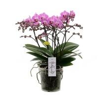 Phalaenopsis Les fleurs de Bellissimo !!