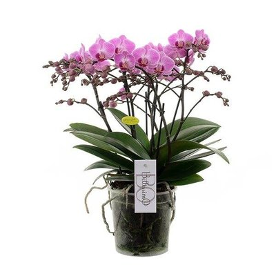 Phalaenopsis Bellissimo 100 + bloemen !!