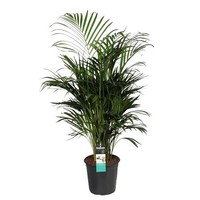 Areca palm (Dypsis lutescens)