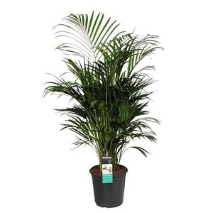 Areca paume (Les lutescens Dypsis)