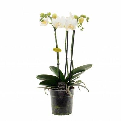 Phalaenopsis Hikari 3 branch