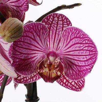Phalaenopsis 2 Zweig gestreift (Butterfly Orchid)