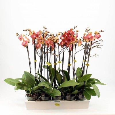 Phalaenopsis 2 tak oranje