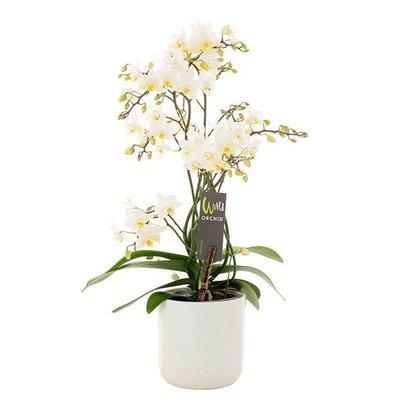 Phalaenopsis 4 Zweig Willd weiß