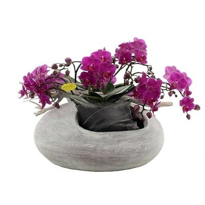 Phalaenopsis Artisto 8 tak