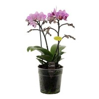 Phalaenopsis Lotte zweit trieben