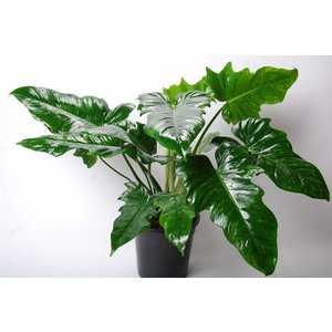 "Philodendron Narrow ""camouflage"""