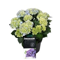 Hydrangea  Ankong Baby 7 - 12 cup