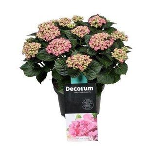 Hydrangea  Curly Wurly 9-15 fleurs