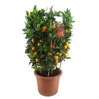 Citrus Calamondin XL
