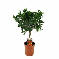 Citrus Calamondin on trunk 50 cm