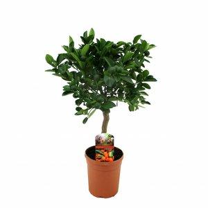 Citrus Calamondin op stam 50 cm