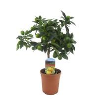 Citrus Kumquat auf Stamm