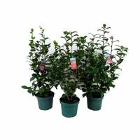 Camellia Camellia Japonica, une floraison d'hiver!