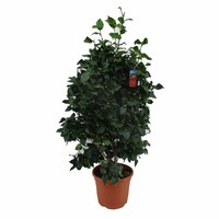 Camellia Japonica, ein Winter Blüte XL
