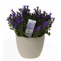 Campanula addenda in rustic pot