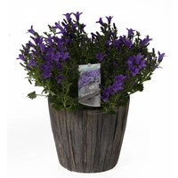 Campanula addenda en feuille de pot