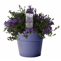 Campanula addenda in amy pot