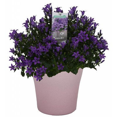 Campanula addenda in stone pot