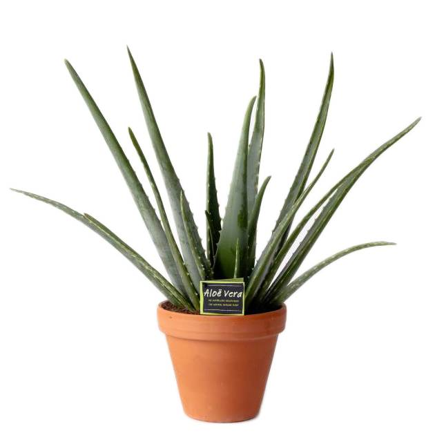 aloe vera known for its healing effect florastore. Black Bedroom Furniture Sets. Home Design Ideas