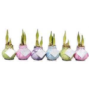 Amaryllis Wax Monet series