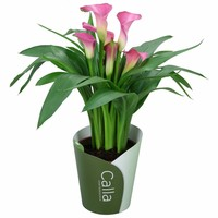 zantedeschia calla in wei celine topf florastore. Black Bedroom Furniture Sets. Home Design Ideas
