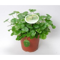 Centella Asiatica 'Lucky Leaves' P 15