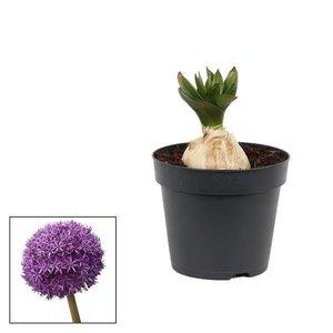 Allium giganteum Globemaster