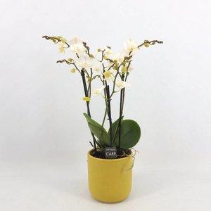 Phalaenopsis 3 Zweig weiß Lippe in gelb Keramik