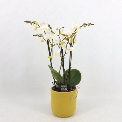 Phalaenopsis 3 tak wit gele lip in geel keramiek