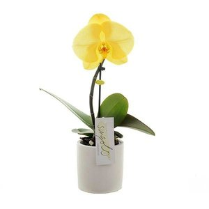 Phalaenopsis Singolo Lemon in white ceramic