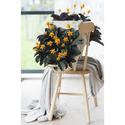 Calathea Krokattopf 25 cm 10 + Blumen