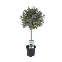 Solanum rantonnetii on tribe