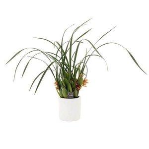 Maxillaria malibu in ornamental pot
