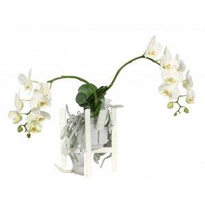 Phalaenopsis Liv in Wachs