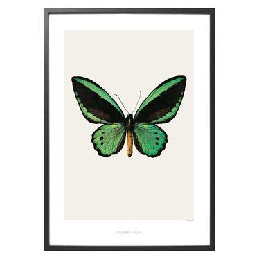 Hagedornhagen Poster S3 Ornithoptera priamus priamus - Green birdwing 42x59 cm
