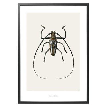 Hagedornhagen Poster met insect B2 Batocera wallacei (42 x 59 cm)
