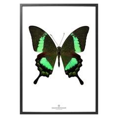 Hagedornhagen S17 groene vlinder Papilio Daedalus